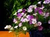 Fotoaufnahmen für die Blumenschmuckprämierung - Anfang August