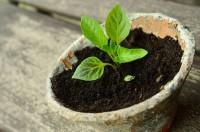 Kürbissetzlinge pflanzen - genauer Termin folgt